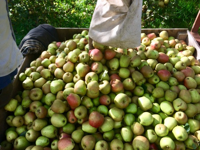 apple bin.jpg